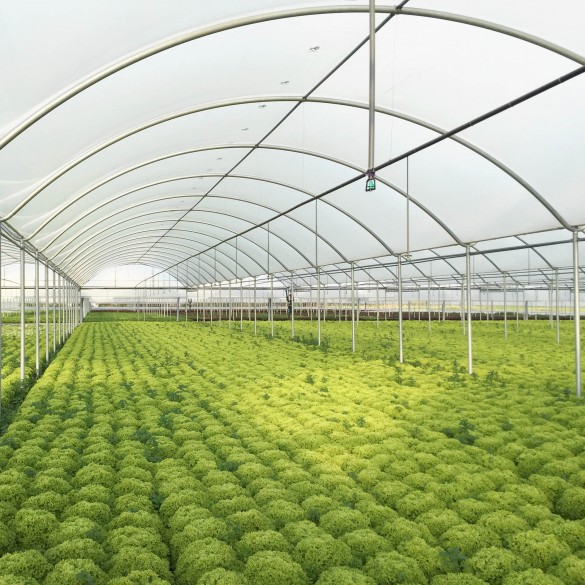Jiggly Greenhouse® Apex Poly Grow Film - Clear (4-Year, 6 Mil) - 50 ft. Wide x 70 ft. Long