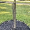"48"" Tall Rigid Mesh Tree Guard For 4"" Diameter Tree [1/2"" Sq. Mesh] - Tree Trunk Protection (Plastic) Jiggly Greenhouse® - Installation Shown"