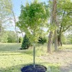 "24"" Tall Rigid Mesh Tree Guard For 6"" Diameter Tree [1/2"" Sq. Mesh] - Tree Trunk Protection (Plastic) Jiggly Greenhouse® - Installation Shown"