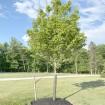 "72"" Tall Rigid Mesh Tree Guard For 7"" Diameter Tree [1/2"" Sq. Mesh] - Tree Trunk Protection (Plastic) Jiggly Greenhouse® - Installation Shown"